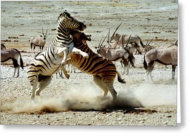 Gemsbok (oryx Gazella) Greeting Cards - Zebra Fight Greeting Card by Carole-Anne Fooks