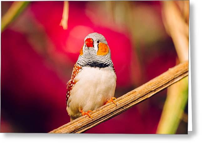 Zebra Finch Greeting Cards - Zebra Finch Closeup Greeting Card by Pati Photography