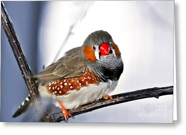 Red Claws Greeting Cards - Zebra finch Greeting Card by Elena Elisseeva