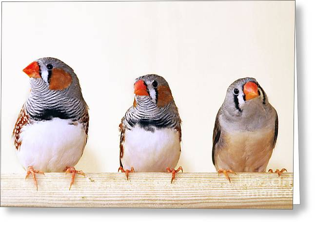 Zebra Finch Greeting Cards - Zebra Finches Greeting Card by Bsip