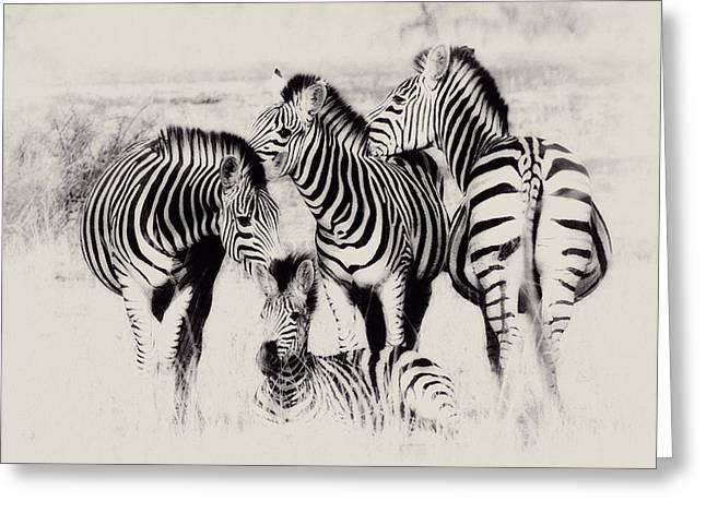Zebra Foursome Greeting Card by Christa Niederer