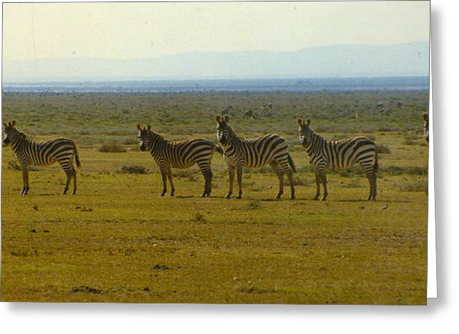 Bc Greeting Cards - Zebra Greeting Card by Graham Foulkes