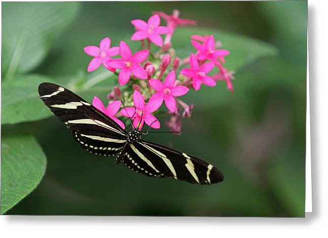 Zebra Pictures Greeting Cards - Zebra Heliconian Butterfly Greeting Card by Juergen Roth