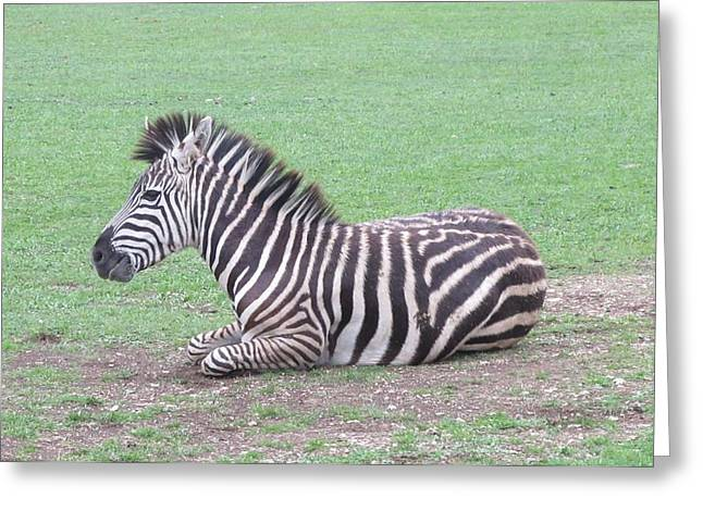Zebra Pictures Greeting Cards - Zebra In America Greeting Card by Donna Wilson