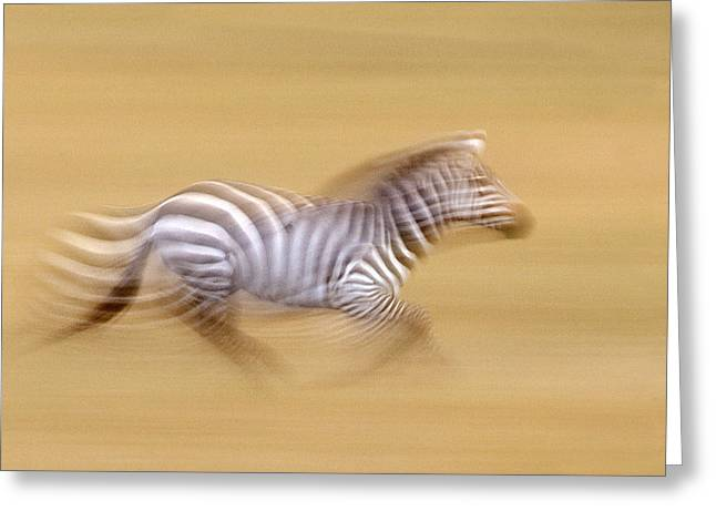Acceleration Greeting Cards - Zebra In Motion Kenya Africa Greeting Card by Panoramic Images