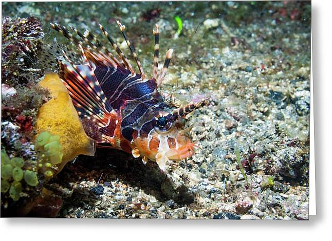Zebra Lionfish On A Reef Greeting Card by Georgette Douwma