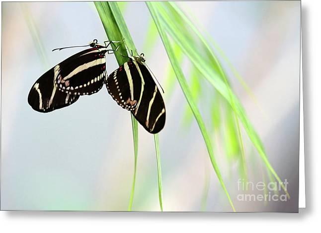 Beautiful Zebra Greeting Cards - Zebra Longwing Butterflies Mating Greeting Card by Sabrina L Ryan