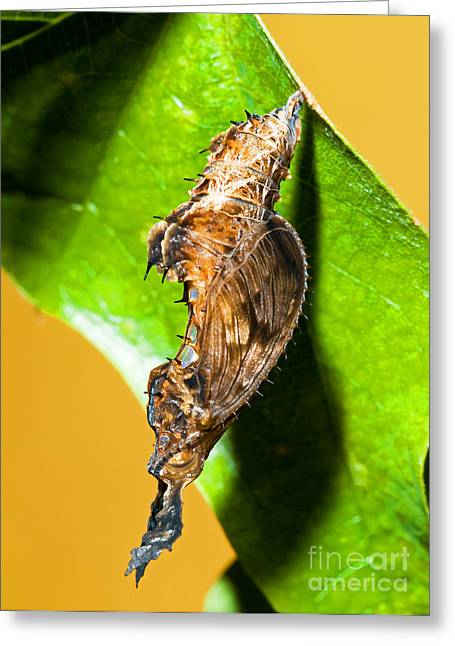 Cocoon Greeting Cards - Zebra Longwing Butterfly Chrysalis Greeting Card by Millard H. Sharp