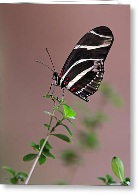 Zebra Pictures Greeting Cards - Zebra Longwing Butterfly  Greeting Card by Juergen Roth