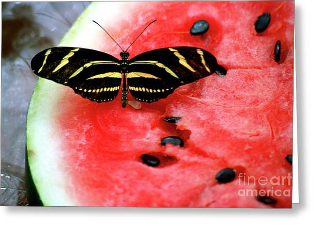Watermelon Greeting Cards - Zebra Longwing Butterfly on Watermelon slice Greeting Card by William Kuta
