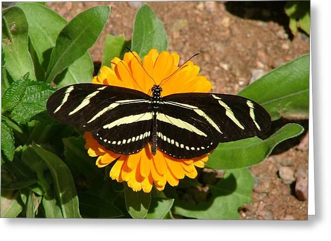 Zebra Longwing Flat On Orange Flower - 106 Greeting Card by Mary Dove