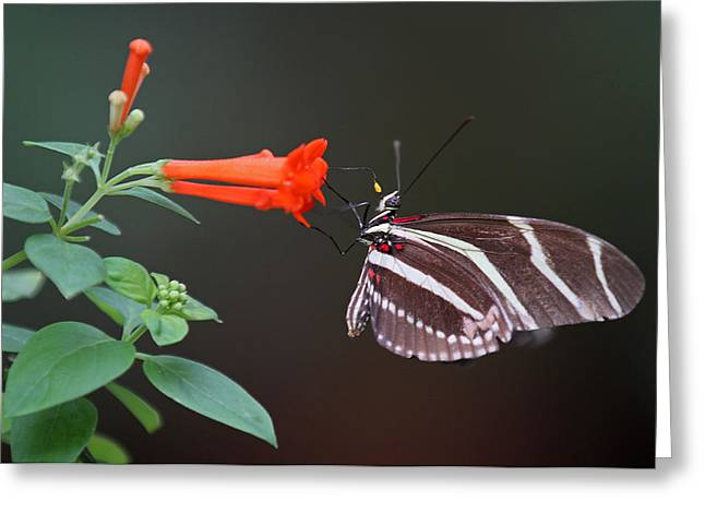 Zebra Pictures Greeting Cards - Zebra Longwing Greeting Card by Juergen Roth
