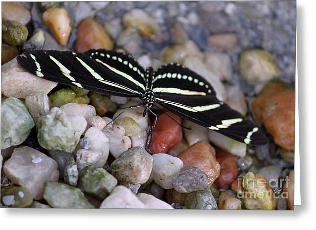 Zebra Greeting Cards Greeting Cards - Zebra Longwing on the Rocks Greeting Card by Suzanne Gaff