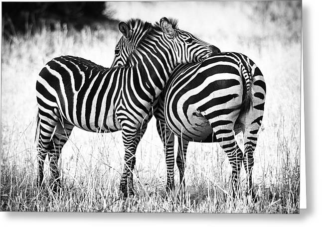 White Art Greeting Cards - Zebra Love Greeting Card by Adam Romanowicz