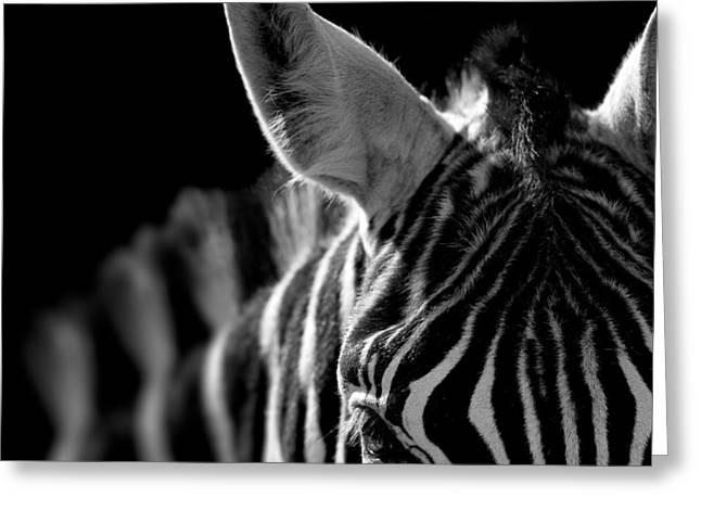 Zebras Greeting Cards - Portrait of Zebra in black and white Greeting Card by Lukas Holas
