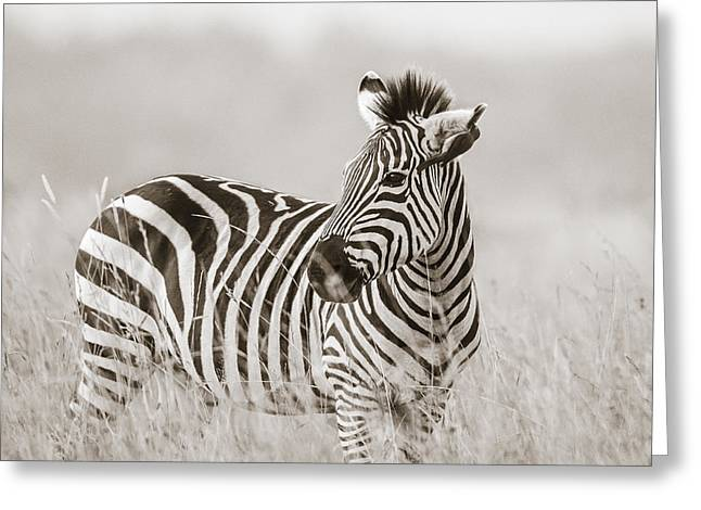 Tiere Greeting Cards - Zebra Masai Mara Kenya Greeting Card by Regina Mueller