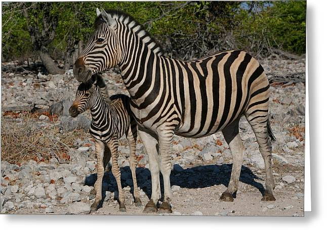 Zebra Colt Greeting Cards - Zebra Mother And Baby Greeting Card by Bruce J Robinson