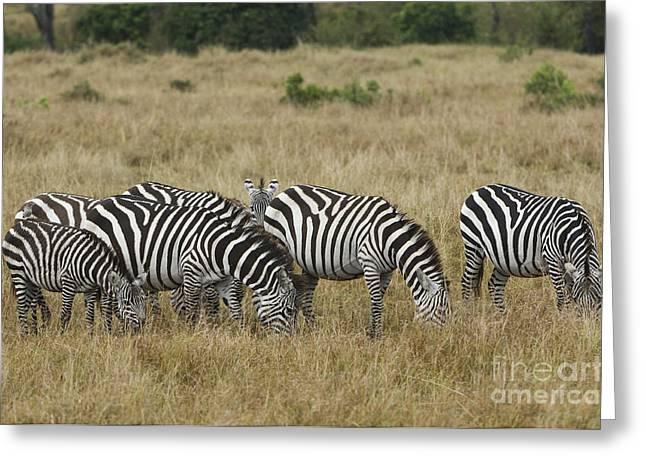Zebra Grazing Greeting Cards - Zebra On Masai Mara Plains Greeting Card by John Shaw