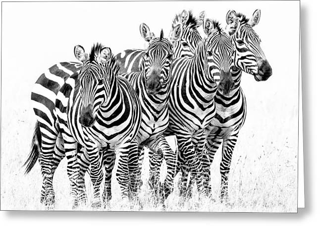 Surveying Greeting Cards - Zebra Quintet Greeting Card by Mike Gaudaur