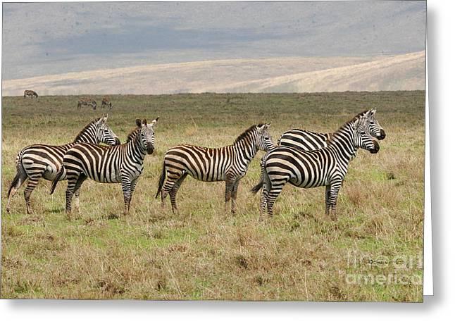 Pajamas Greeting Cards - Zebra Quintet Greeting Card by Sue Jarrett