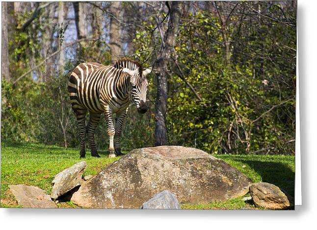 Zebra Picture Prints Greeting Cards - Zebra Rock Greeting Card by Chris Flees