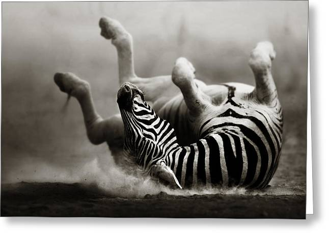 Lies Greeting Cards - Zebra rolling Greeting Card by Johan Swanepoel