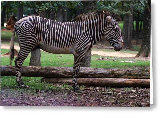 Zebra Picture Prints Greeting Cards - Zebra Side Profile Greeting Card by Chris Flees