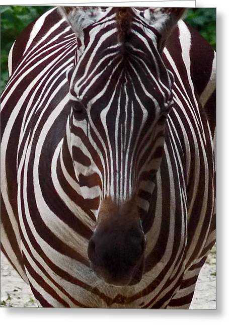 Zebra Pictures Greeting Cards - Zebra Greeting Card by Skip Willits