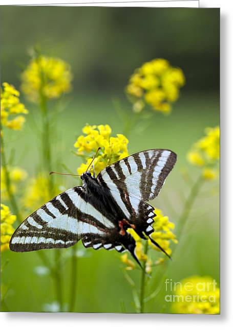 Marcelli Greeting Cards - Zebra Swallowtail Butterfly Greeting Card by Brandon Alms