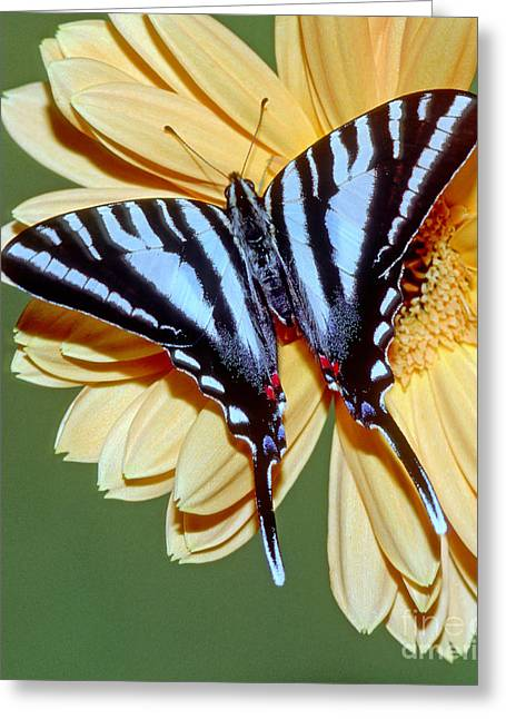 Kite Greeting Cards - Zebra Swallowtail Butterfly Greeting Card by Millard H. Sharp