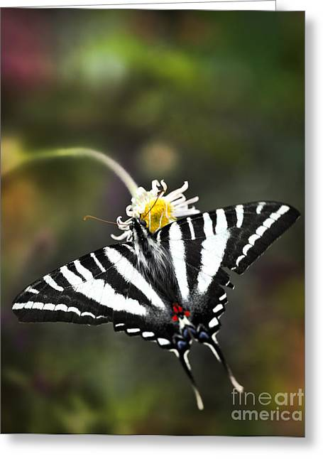 Marcelli Greeting Cards - Zebra Swallowtail Butterfly On A Flower Greeting Card by Brandon Alms