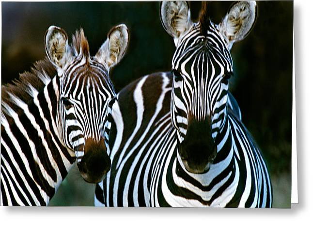 Ahead Greeting Cards - Zebras Africa Greeting Card by Panoramic Images