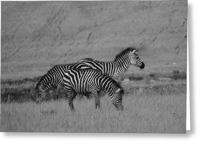 Beautiful Zebra Greeting Cards - Zebras Black And White Greeting Card by Dan Sproul