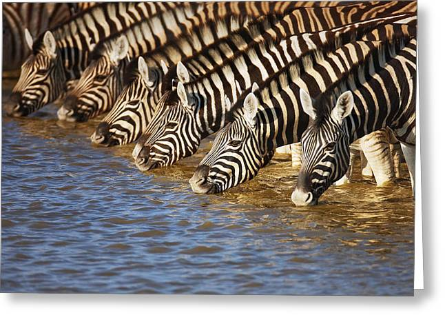 Together Greeting Cards - Zebras drinking Greeting Card by Johan Swanepoel