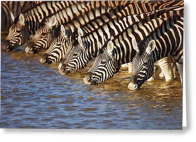 Equus Greeting Cards - Zebras drinking Greeting Card by Johan Swanepoel