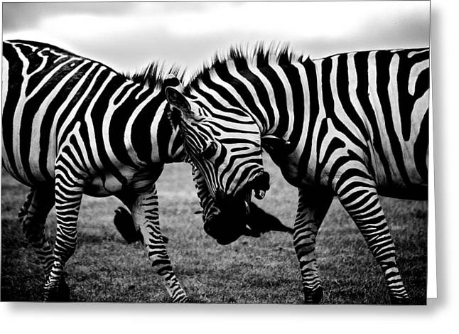 Beautiful Zebra Greeting Cards - Zebras Head to Head Greeting Card by Mountain Dreams