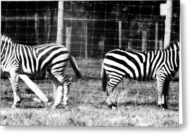Ignore Greeting Cards - Zebras In Black And White Greeting Card by Dan Sproul