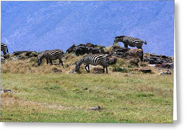 African Heritage Greeting Cards - Zebras In The Ngorongoro Crater Tanzania Greeting Card by Aidan Moran