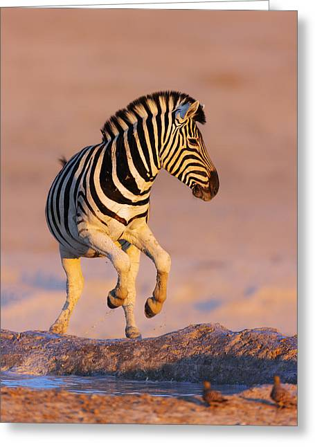 Equus Greeting Cards - Zebras jump from waterhole Greeting Card by Johan Swanepoel