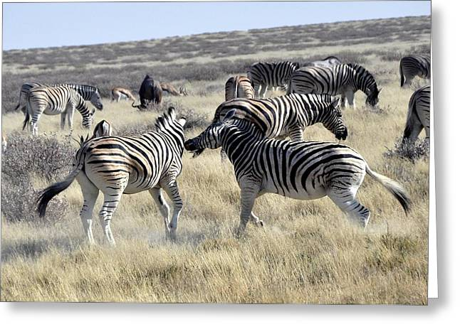 Zebra Grazing Greeting Cards - Zebras of Namibia  Greeting Card by Mountain Dreams