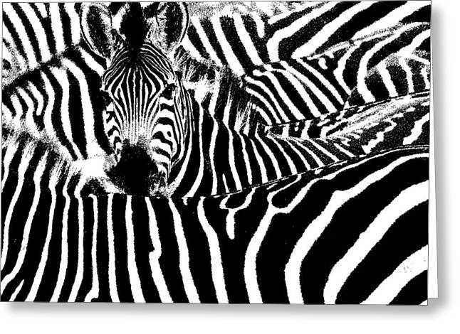 Penny Ovenden Greeting Cards - Zebras Greeting Card by Penny Ovenden