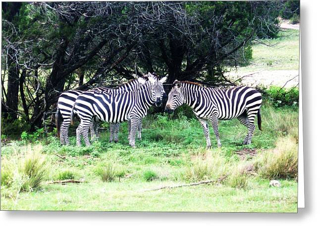Zebra Picture Prints Greeting Cards - Zebras Greeting Card by Venus