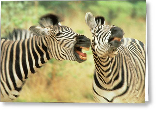 Zimbabwe Two Zebras In A Dispute Credit Greeting Card by Jaynes Gallery