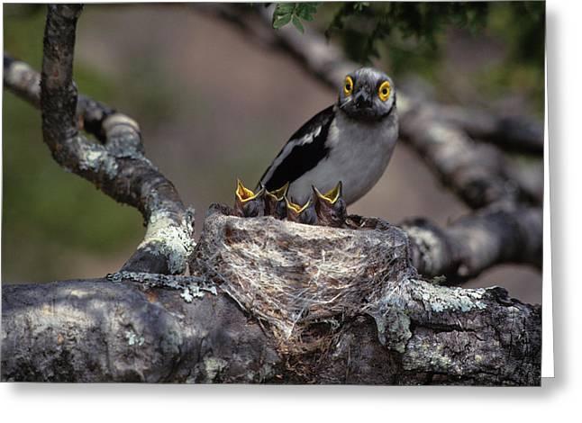 Zimbabwe White Helmutshrike On Nest Greeting Card by Jaynes Gallery