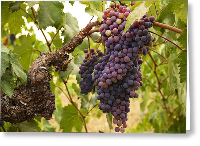 Zinfandel Photographs Greeting Cards - Zinfandel Greeting Card by John and Nicolle Hearne