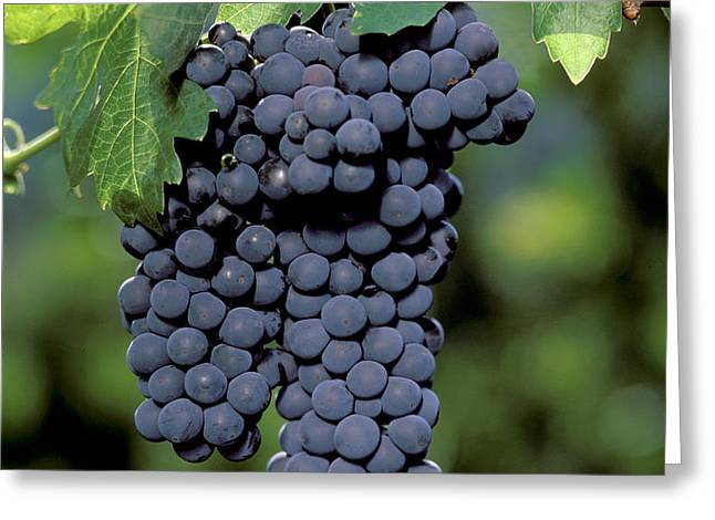Zinfandel Wine Grape Clusters Greeting Card by Craig Lovell