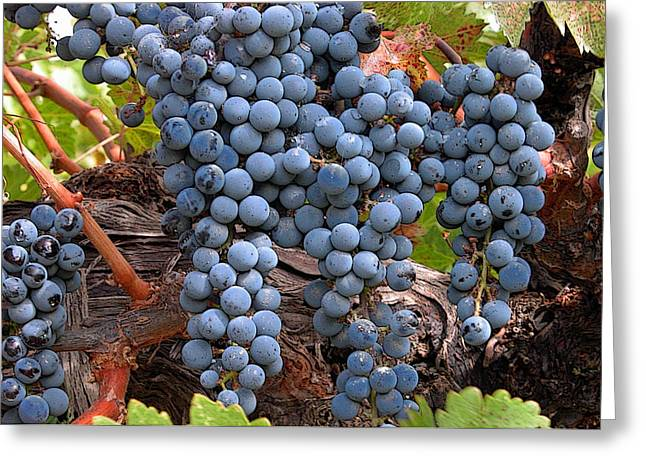 Grape Vineyards Greeting Cards - Zinfandel Wine Grapes Greeting Card by Charlette Miller