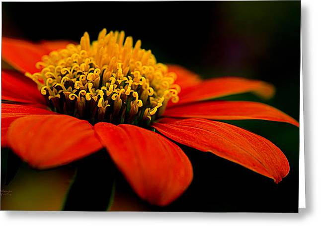 Zinnias Greeting Cards - Zinnia Bright Orange Macro Greeting Card by Julie Palencia