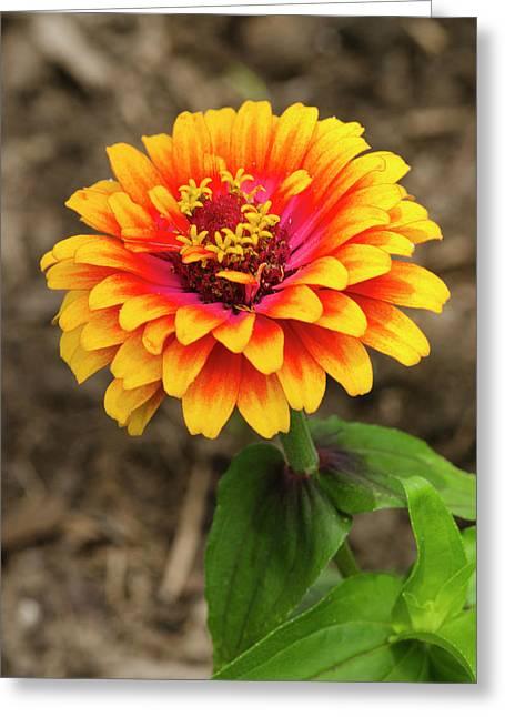 Ovates Greeting Cards - Zinnia Greeting Card by Crystal Wightman