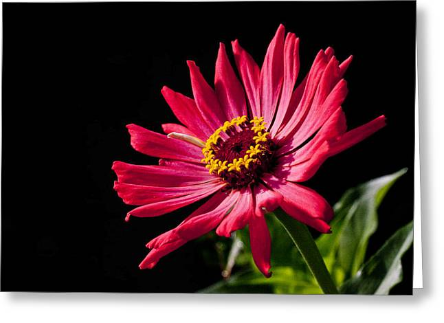 Twinkle Greeting Cards - Zinnia Dish Greeting Card by Doug Norkum